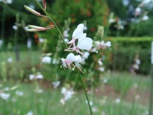 ハクチョウソウ 花の姿
