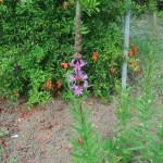 エゾミソハギ 花の咲いている様子