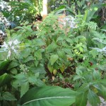 ネコノヒゲ 花の咲いている様子