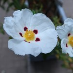 Grey-leaved cistus/ シスタス