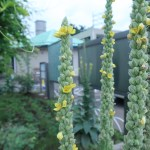 ビロードモウズイカ 花の様子