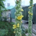 ビロードモウズイカ 花の姿