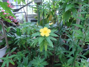 ターネラ・ウルミフォリア 花の咲いている様子