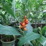 Hedychium horsfieldii/ ヘディキウム・ホースフィエルディ