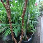 ジャボチカバ 花と若い実のなっている様子