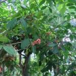 スリナムニガキ 花の咲いている様子
