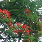 ホウオウボク 花の咲いている様子