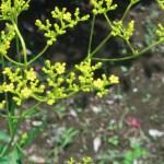 オミナエシ 花の姿 アップ