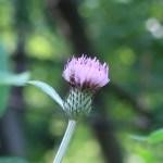 ノハラアザミ 花の姿