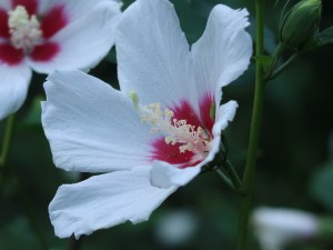 Rose of Sharon/ ムクゲ