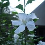 ムクゲ 白い花の様子