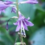 コバノギボウシ 花の姿