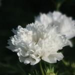 コスモス 品種名 ダブルクリックスノーパフ