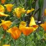 ハナビシソウ 花の様子