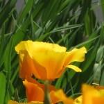 ハナビシソウ 花の姿
