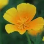 California poppy/ ハナビシソウ