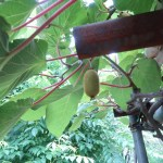 キウイフルーツ 実のなっている様子