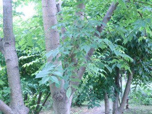 キハダ 木の様子