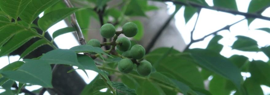 Amur cork tree/ キハダ