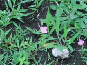 ユウゲショウ 花の咲いている様子