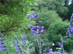 サルビア・グアラニティカ 花の様子