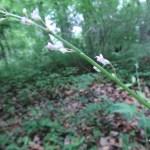ヌスビトハギ 花の様子