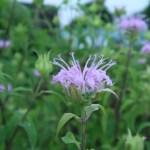 タイマツバナ 薄いピンク 花の様子
