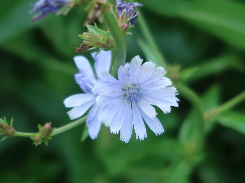 Chicory/ チコリ