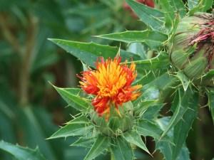 ベニバナ 花の姿 (少し若い花)