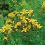 コゴメバオトギリ 花の咲いている様子