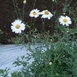 シロバナムシヨケギク 花の咲いている様子