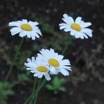 Dalmatian chrysanthemum / シロバナムシヨケギク