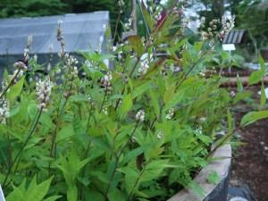 セネガ (ヒロハセネガ) 花の咲いている様子