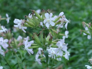 サポナリア 花の様子