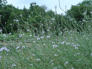 クマツヅラ 花の咲いている様子