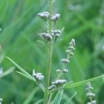 セイヨウニンジンボク まだ咲く前の花の姿