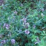 ムラサキウマゴヤシ 花の咲いている様子