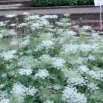 トウキ 花の咲いている様子