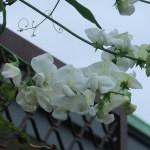 ヒロハノレンリソウ 花の姿