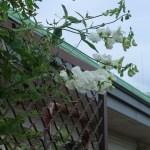 ヒロハノレンリソウ 花の咲いている様子