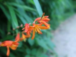 ヒメヒオウギスイセン 花の様子