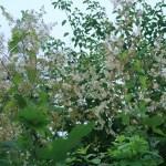 タケニグサ 花の咲いている様子
