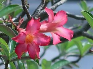 アデニウム 花の姿