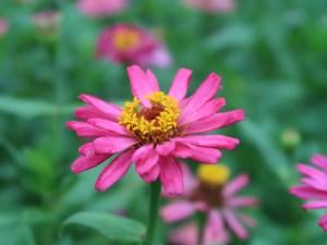 ヒャクニチソウ 花の姿