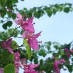 ブーゲンビリア 花の姿
