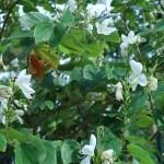 モクワンジュ 花の咲いている様子