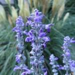 サルビア・ファリナセア 花の姿