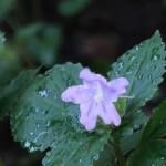 スズムシバナ 花の姿