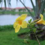ヒメアリアケカズラ 花の姿