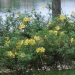 ヒメアリアケカズラ 花の咲いている姿